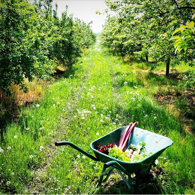 Allée de pommiers à la Ferme du Logis (78) – Copyright © Gratinez