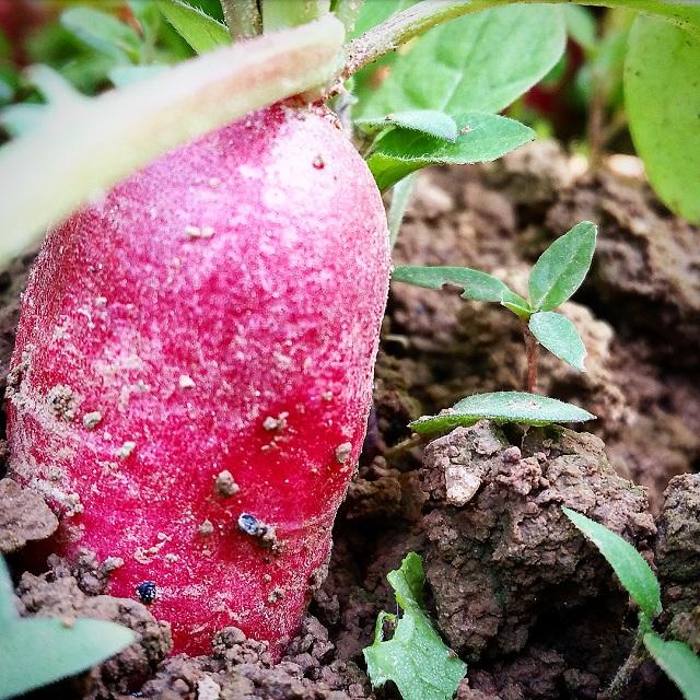 Cueillette des radis à la Ferme du Logis (78) – Copyright © Gratinez