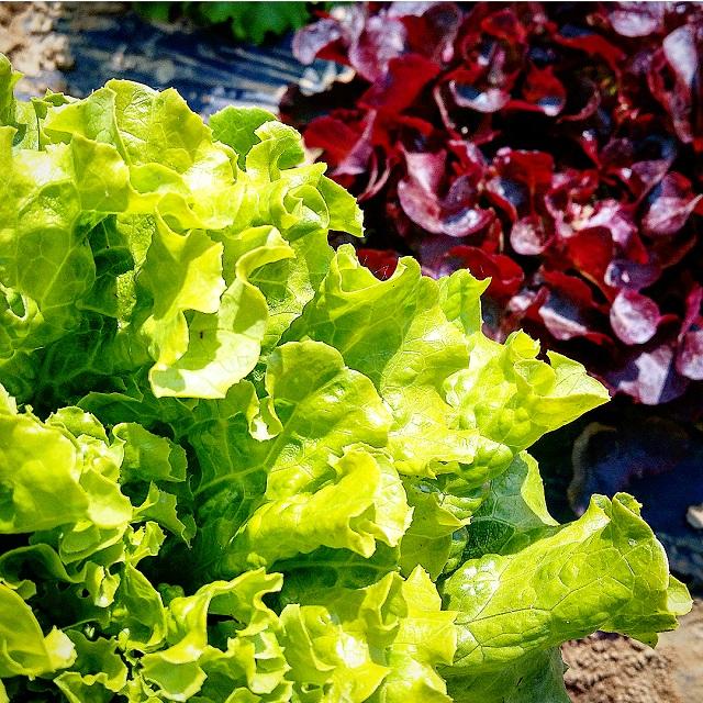 Cueillette des salades à la Ferme du Logis (78) – Copyright © Gratinez