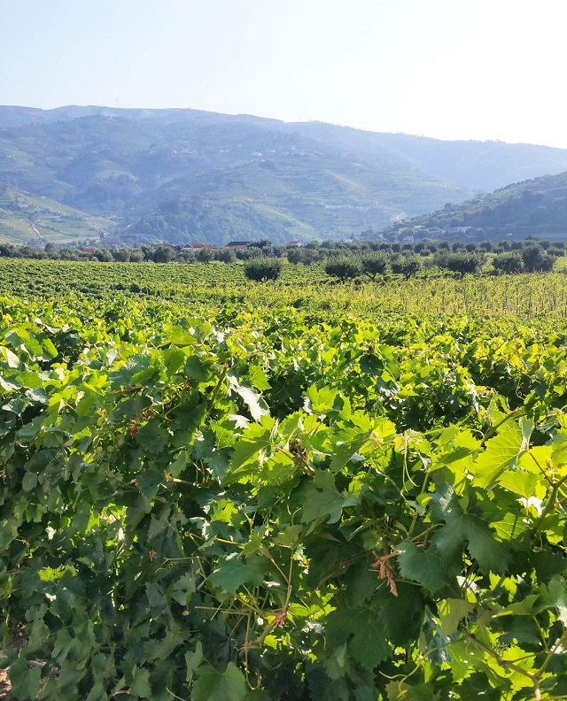 Vignobles du Douro, Quinta da Pacheca – Copyright © Gratinez