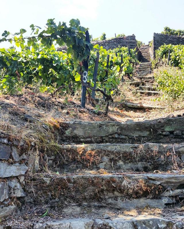 Vignobles du Douro, Quinta de Marrocos – Copyright © Gratinez